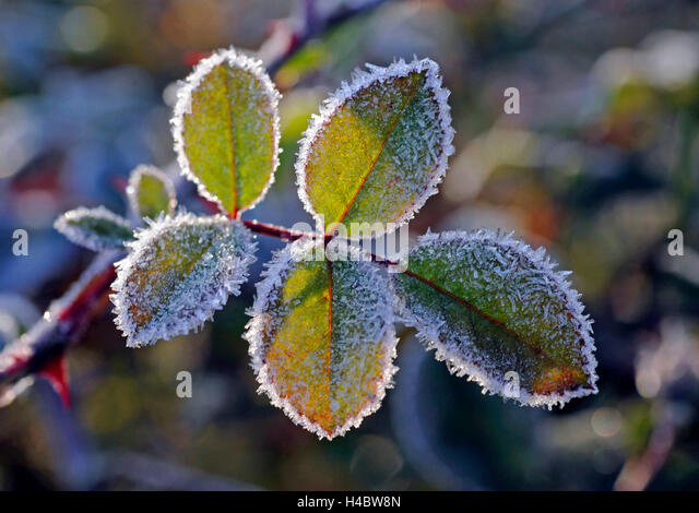 Rose foliage of the climbing rose pink sympathy in the garden, onset of winter, hoarfrost - Stock Image