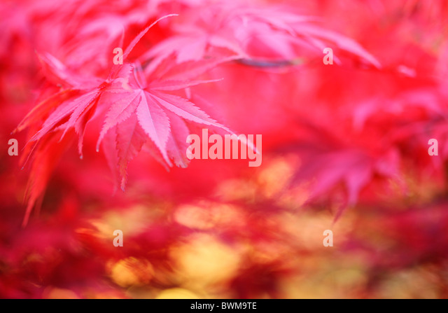 atmospheric dreamy red maple tree, rich and abundant - fine art photography Jane-Ann Butler Photography JABP927 - Stock Image