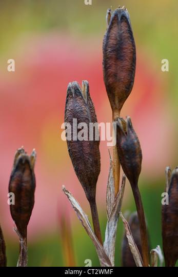 Iris sibirica 'Caesar's Brother', Iris, Siberian iris - Stock Image