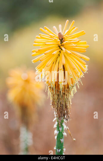 Red hot poker, Kniphofia 'Yellow cheer'. - Stock Image