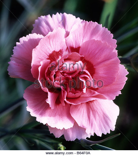 Old-Fashioned Pinks - Dianthus - Select Seeds 18
