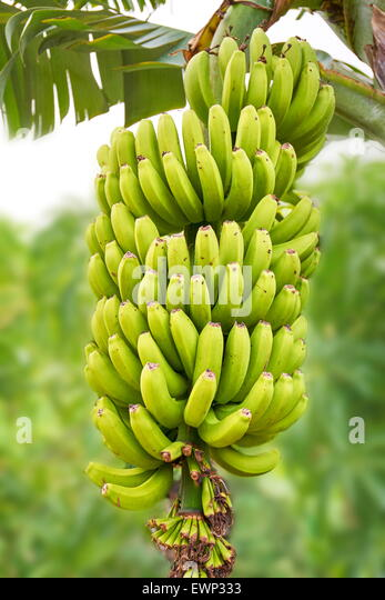 Banana fruit, Tenerife, Canary Islands, Spain - Stock Image