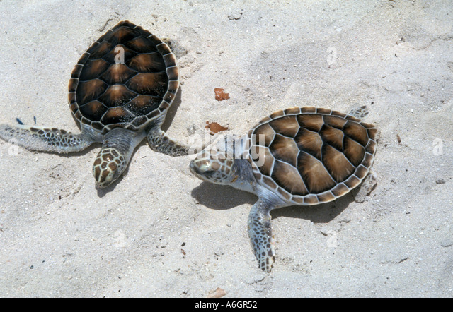Green Sea Turtle Hatchlings on Beach in Bright Sunlight - Stock Image