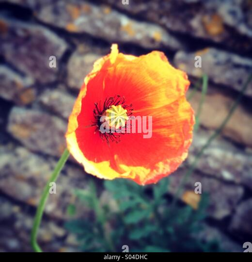 Red poppy against brick wall - Stock-Bilder