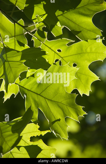Northern Red Oak leaves - Stock Image