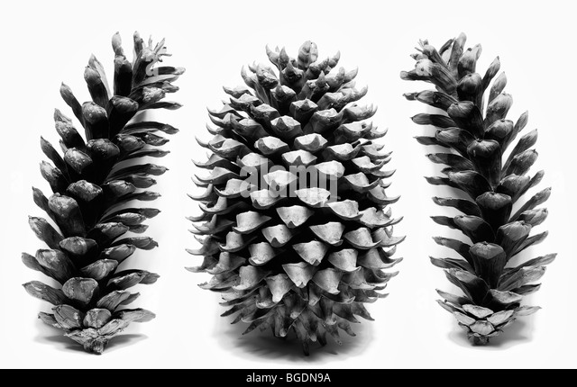 Coulter Pine cone with Eastern White Pine Cones on white background - Stock Image