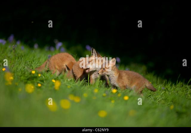 Red fox Vulpes vulpes Three fox cubs among bluebells on the margins of a flower filled meadow Derbyshire, UK - Stock-Bilder