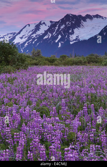Field of Lupine wildflowers along Turnagain Arm, Chugach National Forest, Alaska. - Stock-Bilder