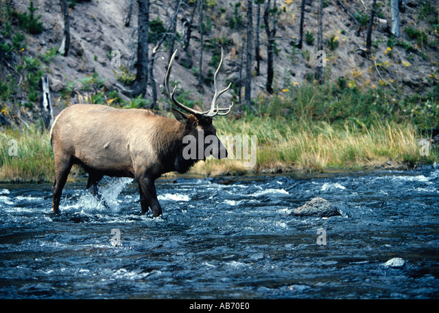 A large bull elk or wapit crosses a river Yellowstone National Park Wyoming COPYRIGHT DUANE BURLESON - Stock Image