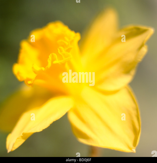 beautiful spring daffodil the epitome of spring fine art photography Jane Ann Butler Photography JABP287 - Stock Image