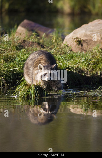 Raccoon (racoon) (Procyon lotor) at waters edge with reflection, in captivity, Minnesota Wildlife Connection, Minnesota, - Stock Image