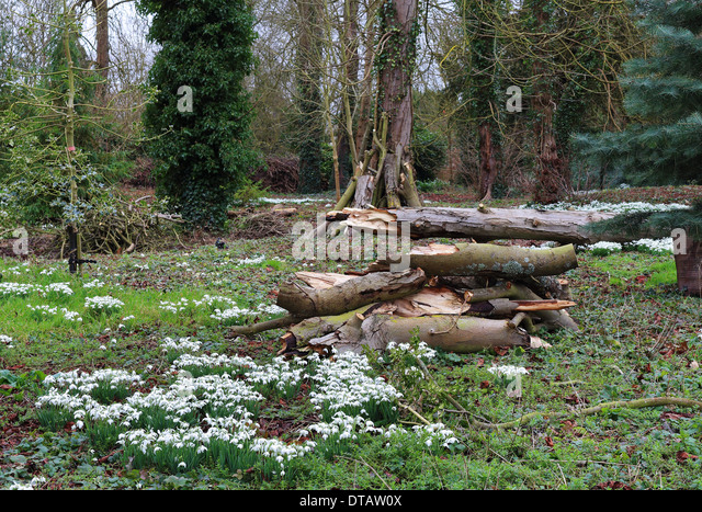 A mass of Snowdrops and pile of timber in a woodland glade - Stock Image