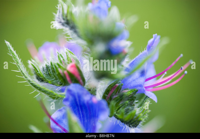 COMMON NAME Vipers bugloss LATIN NAME Boraginaceae - Stock Image