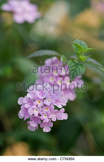 Lantana montevidensis purple trailing flowers - Stock Image