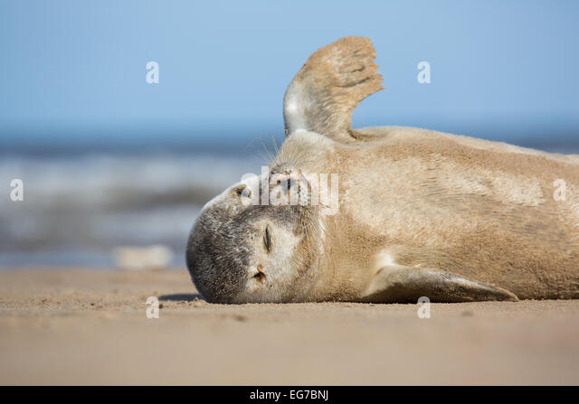 Common seal pup photographed on Donna Nook beach, Lincolnshire UK - Stock Image
