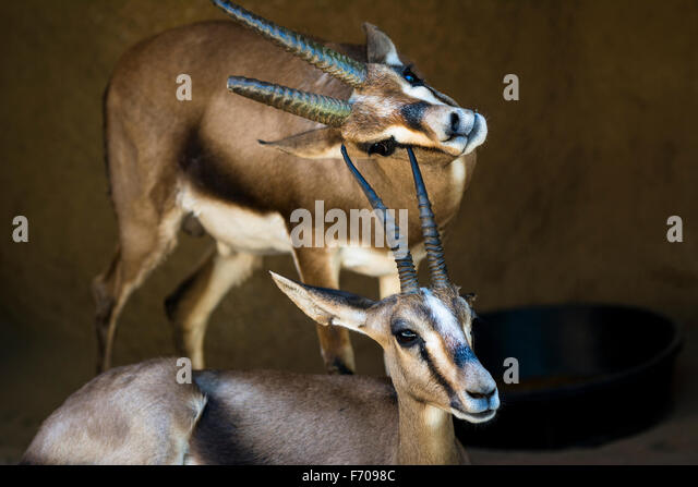 Two gazelles rest in a shaded area while one scratches its chin on the horn of another gazelle. - Stock-Bilder