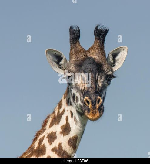 Masai Giraffe (Giraffa camelopardalis tippelskirchi) portrait - Stock Image