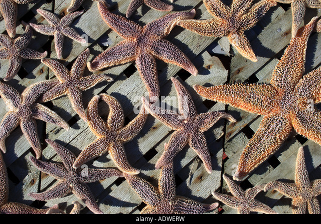 Dried starfish displayed to sunlight, Nova Scotia, Canada. Photo by Willy Matheisl - Stock Image