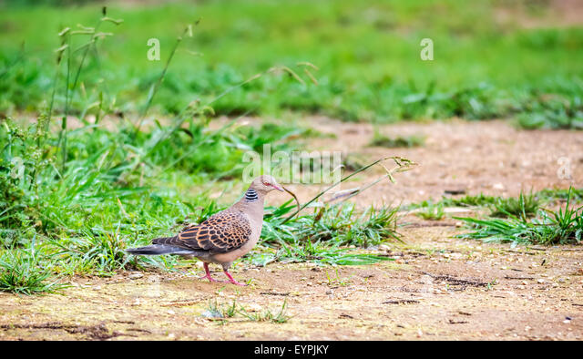 Bird, Oriental Turtle Dove, Streptopelia orientalis with copy space - Stock Image