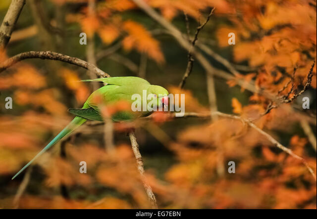Ring-necked parakeet photographed in Hyde Park, London - Stock Image