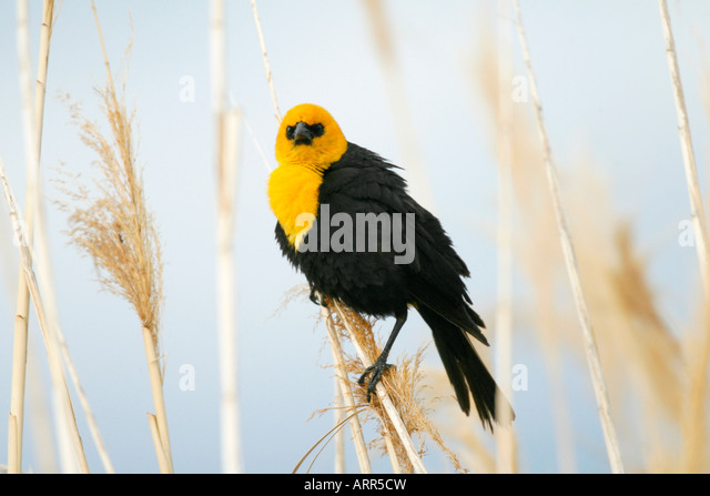 Yellow headed Blackbird - Stock Image