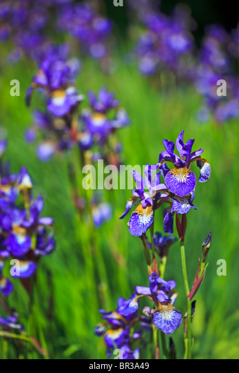 Iris Sibirica photographed in Yorkshire in June - Stock Image