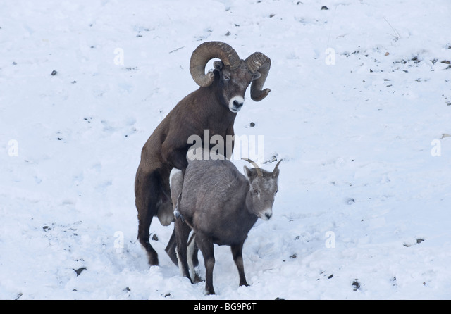 Bighorn Sheep mating - Stock Image