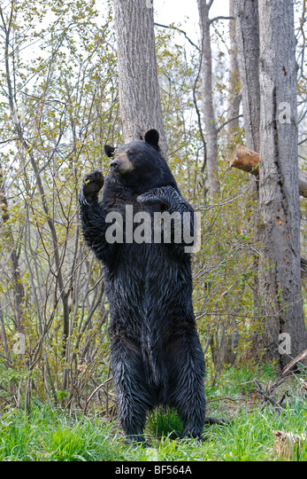 American Black Bear (Ursus americanus). Adult male on its hind legs, marking its territory by rubbing its neck on - Stock-Bilder