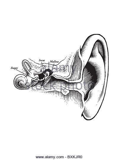 diagram ear stock photos  u0026 diagram ear stock images