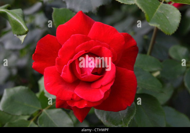 Close up of a Rose flower - Stock Image