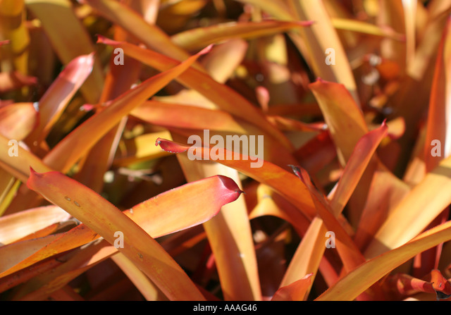Florida, tropical plant, flora, growing, life, bromeliad, - Stock Image