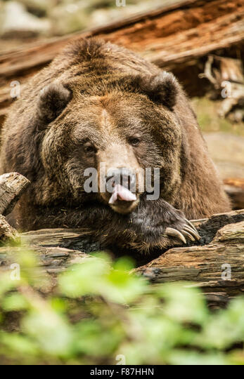 grizzly bear resting in - photo #9