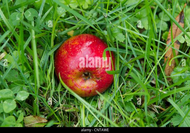 Ripe apple resting on grass - Stock Image