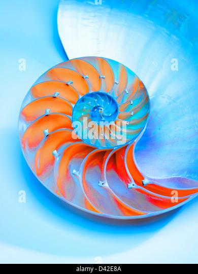 Nautilus Shell bisected in half showing the chambers,Nautilus Pompilus,Genus Nautilus - Stock Image