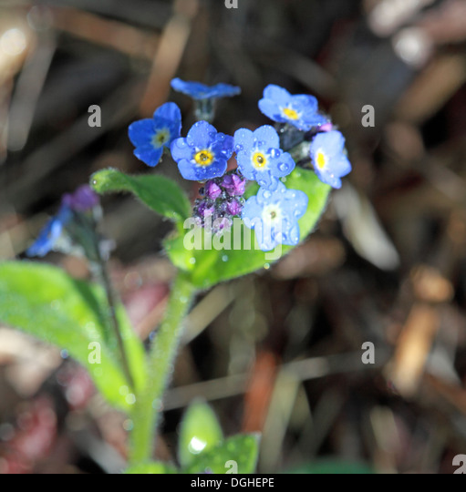 Wood ForgetMeNot, Spring, English wood, Grappenhall, Warrington,England,UK - Stock Image