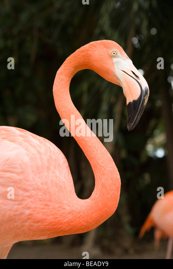 American Flamingo, Nassau, Bahamas, Caribbean - Stock-Bilder