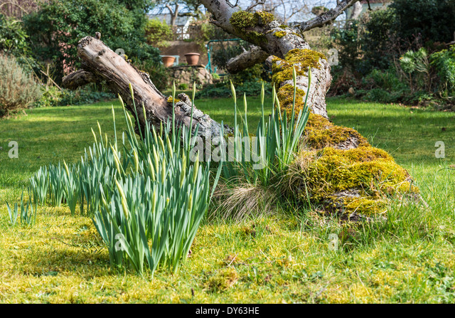 Daffodils growing in garden under old apple tree in spring. Third of sequence of 10 (ten) images photographed over - Stock Image