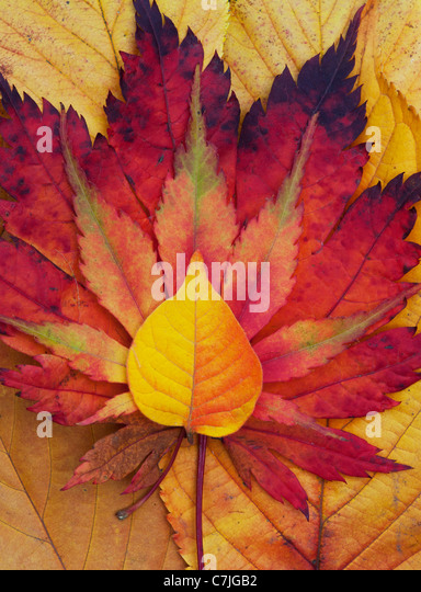 Acer and autumn leaf pattern. Japanese Maple and various other leaves changing colour in autumn. - Stock Image