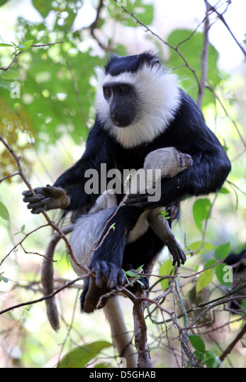 sacred Colobus monkey with baby in Boabeng Fiema Monkey Sanctuary, Ghana - Stock Image