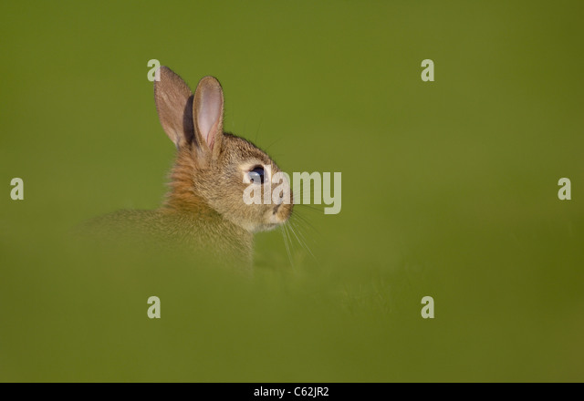 RABBIT Oryctolagus cuniculus Profile of a young rabbit in a fieldNorfolk, UK - Stock-Bilder