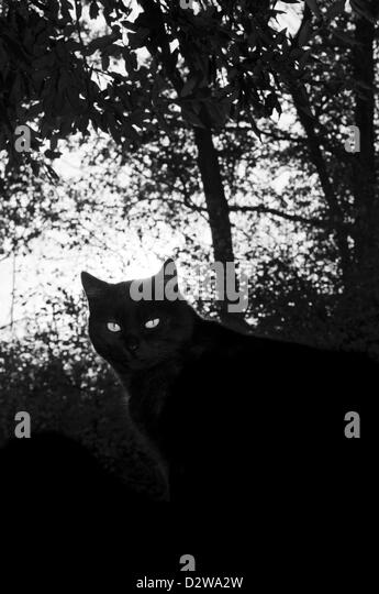 Black cat eyes in the shade of a forest - Stock Image