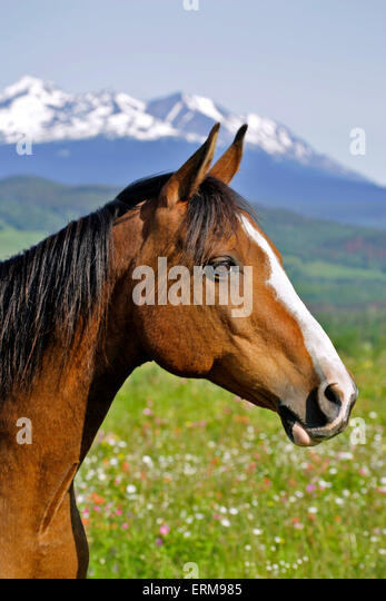 Bay Arabian Gelding, standing in summer meadow, portrait - Stock Image