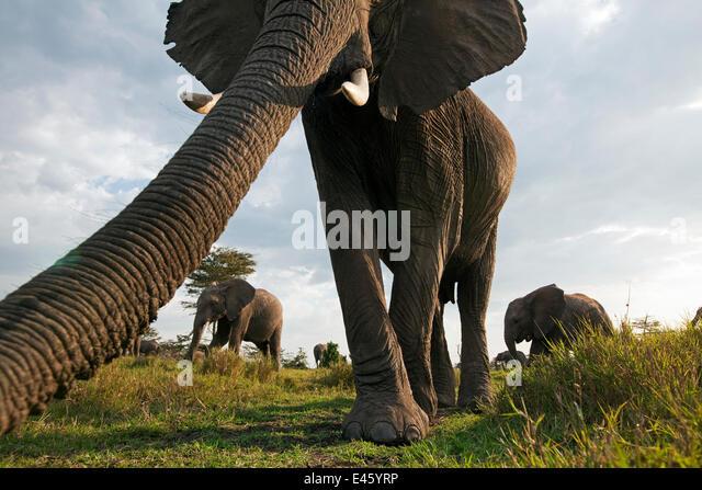 African elephant (Loxodonta africana) investigating with its trunk, Masai Mara National Reserve, Kenya. March - Stock-Bilder