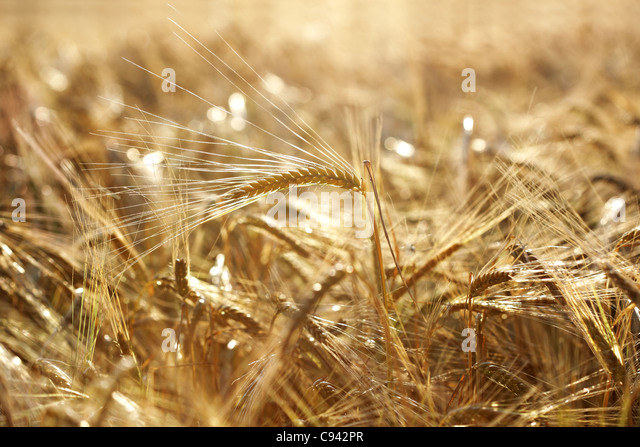 Golden wheat field - Stock Image