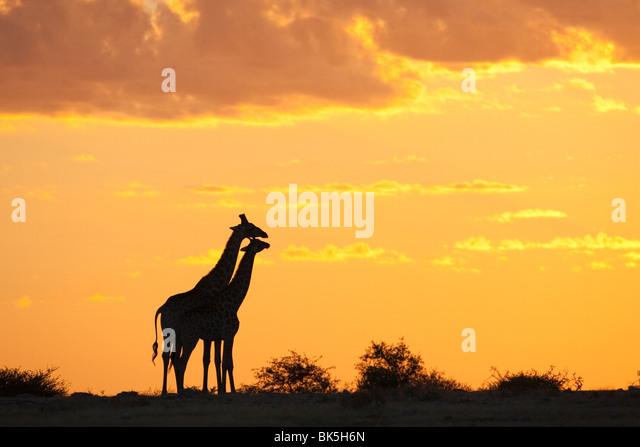 Giraffes (Giraffa camelopardalis), silhouetted at sunset, Etosha National Park, Namibia, Africa - Stock-Bilder