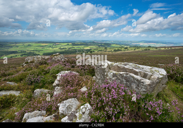 Flowering heather on the Stiperstones ridge, Shropshire, England. Summer (August) 2012. - Stock Image