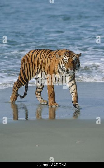 Bengal tiger, Panthera tigris, walking on beach at edge of surf. - Stock Image