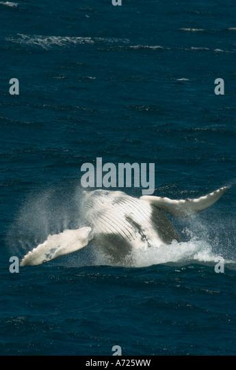 Humpback Whale (Megaptera novaeangliae) breaching CABO SAN LUCAS,  MEXICO - Stock Image