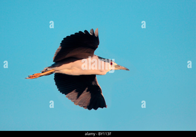 Black-crowned Night-Heron in flight. - Stock-Bilder