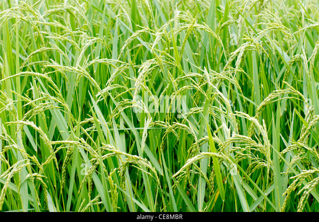 a side view of rice plants, in philippines. - Stock-Bilder